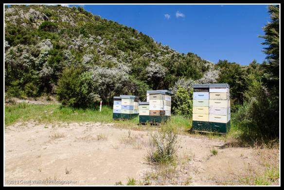 Manuka flowering means lots of hives out and these are from Watson and Son!!