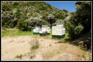 Watson and Son's hives collecting manuka honey.