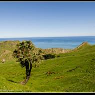 The iconic Cabbage Tree - with a view...