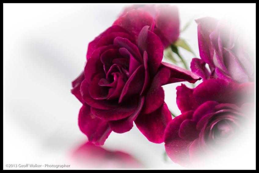 Martinborough roses.